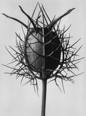 Nigella damascena (Jungfrau im Grünen)
